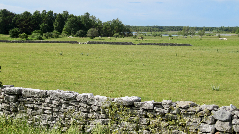 Stone fences in Gotland