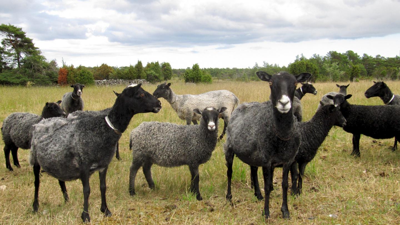Sheep on the island of Fårö