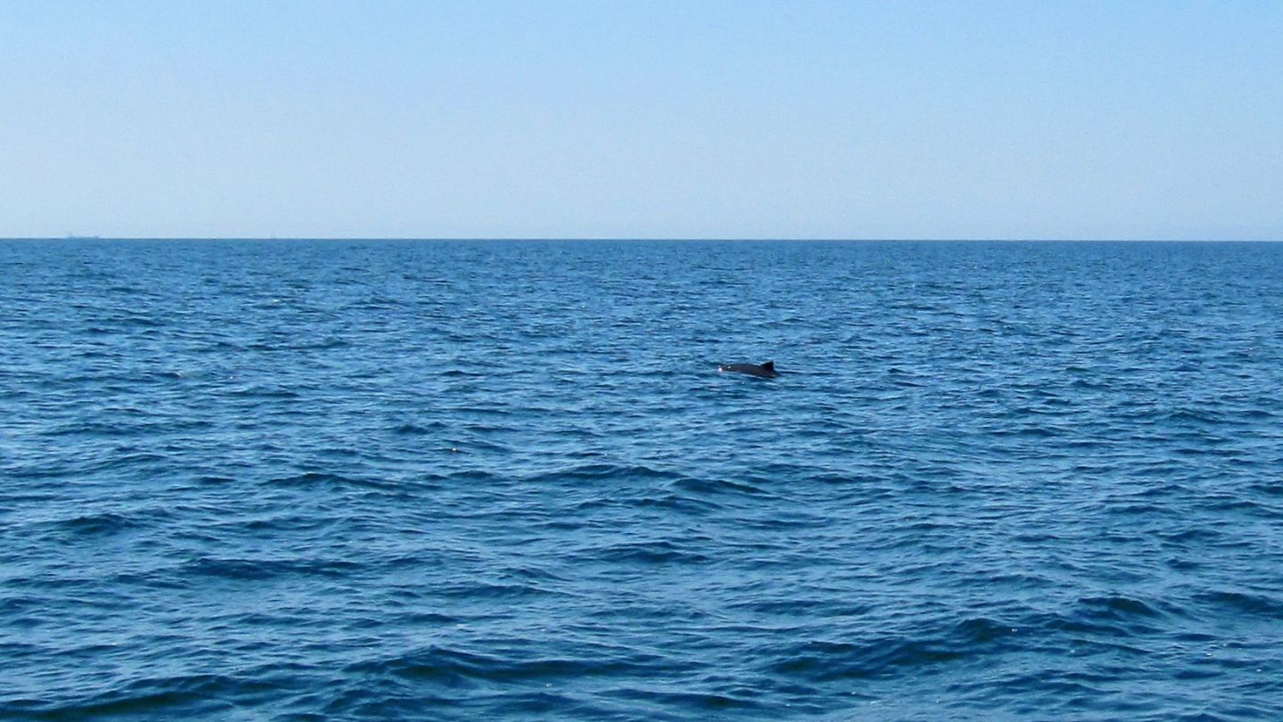 Harbour porpoise playing with Suwena on the Baltic Sea