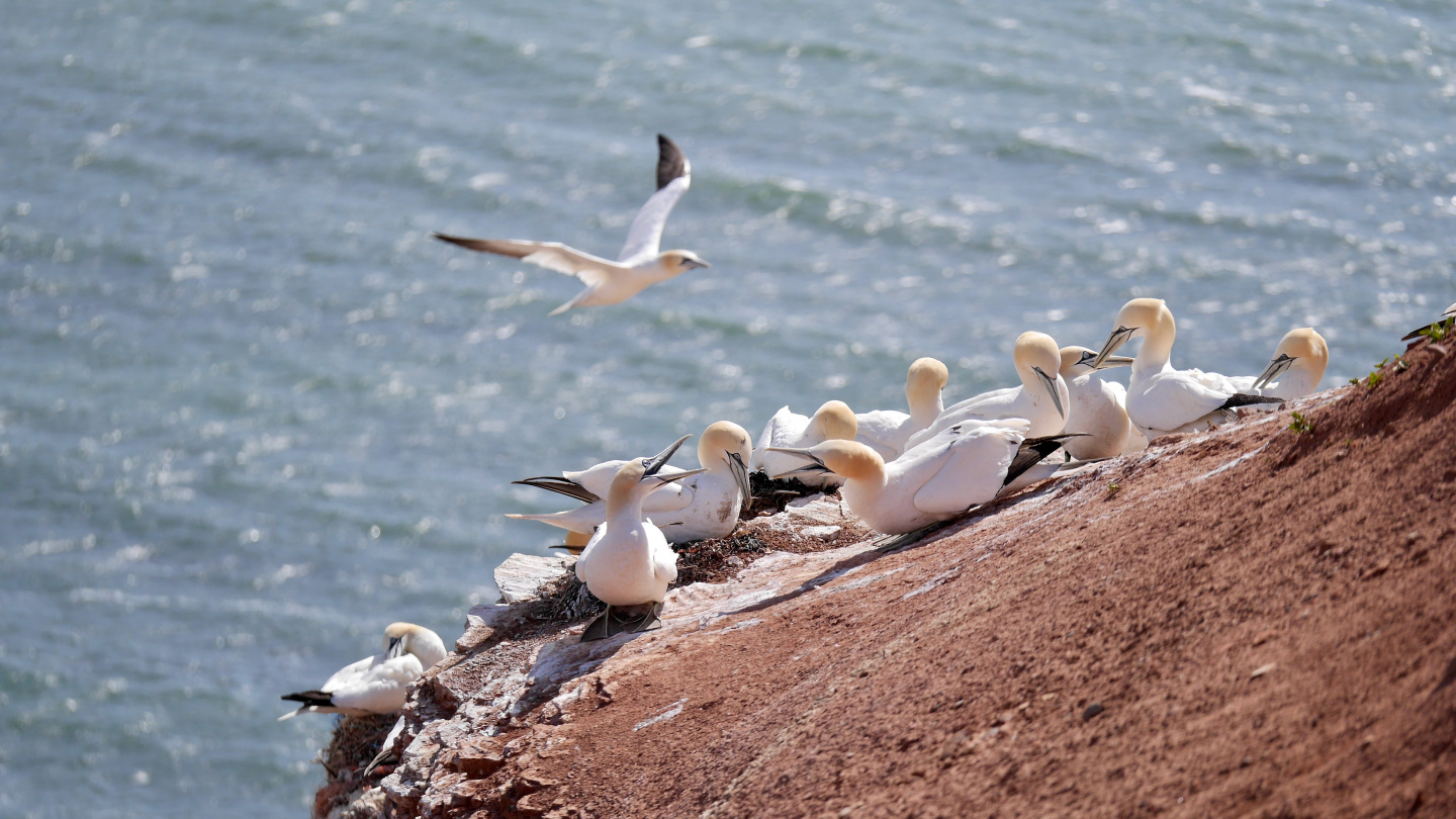 Birds nesting in Helgoland