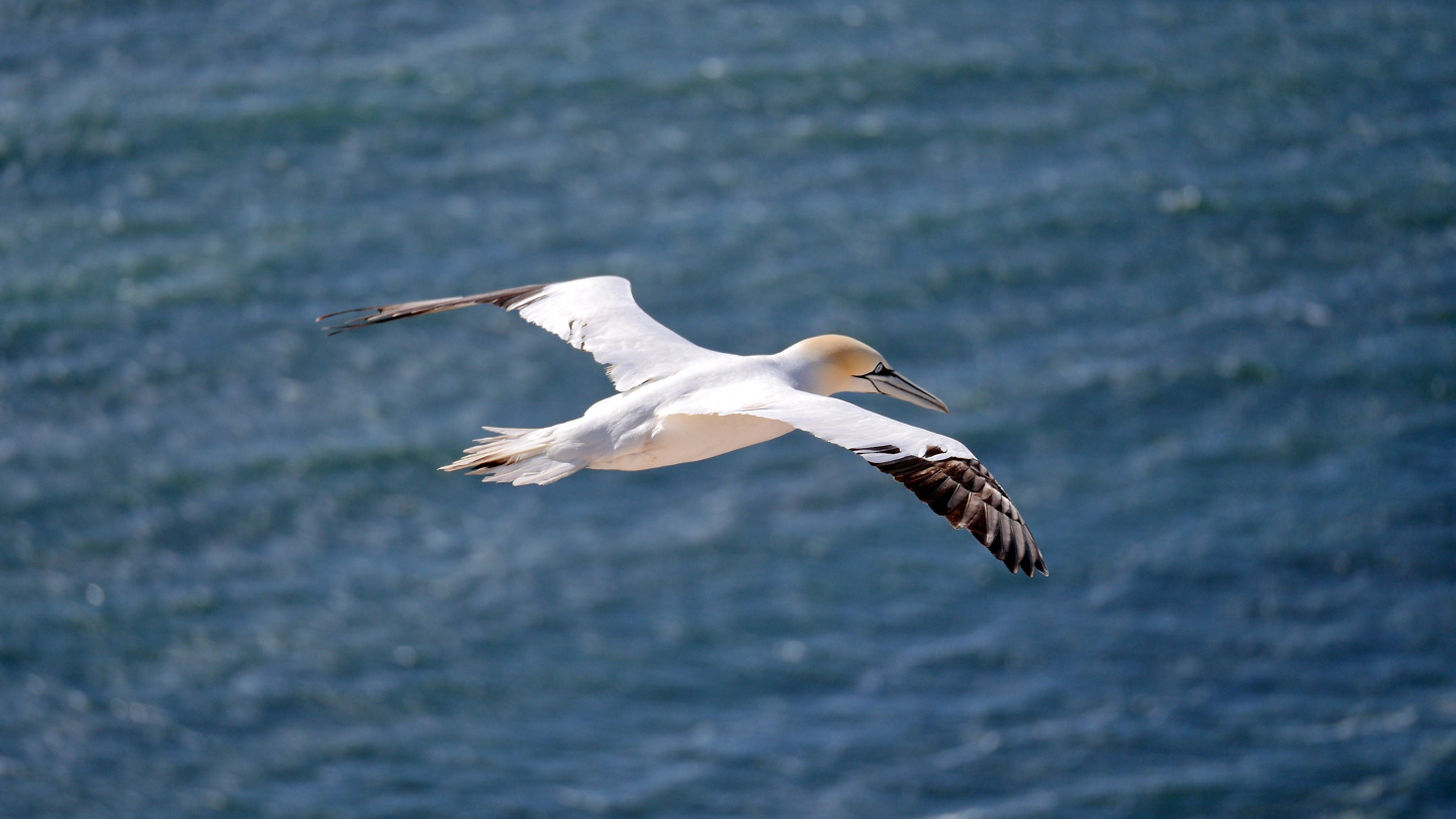 Northern gannet gliding in Helgoland