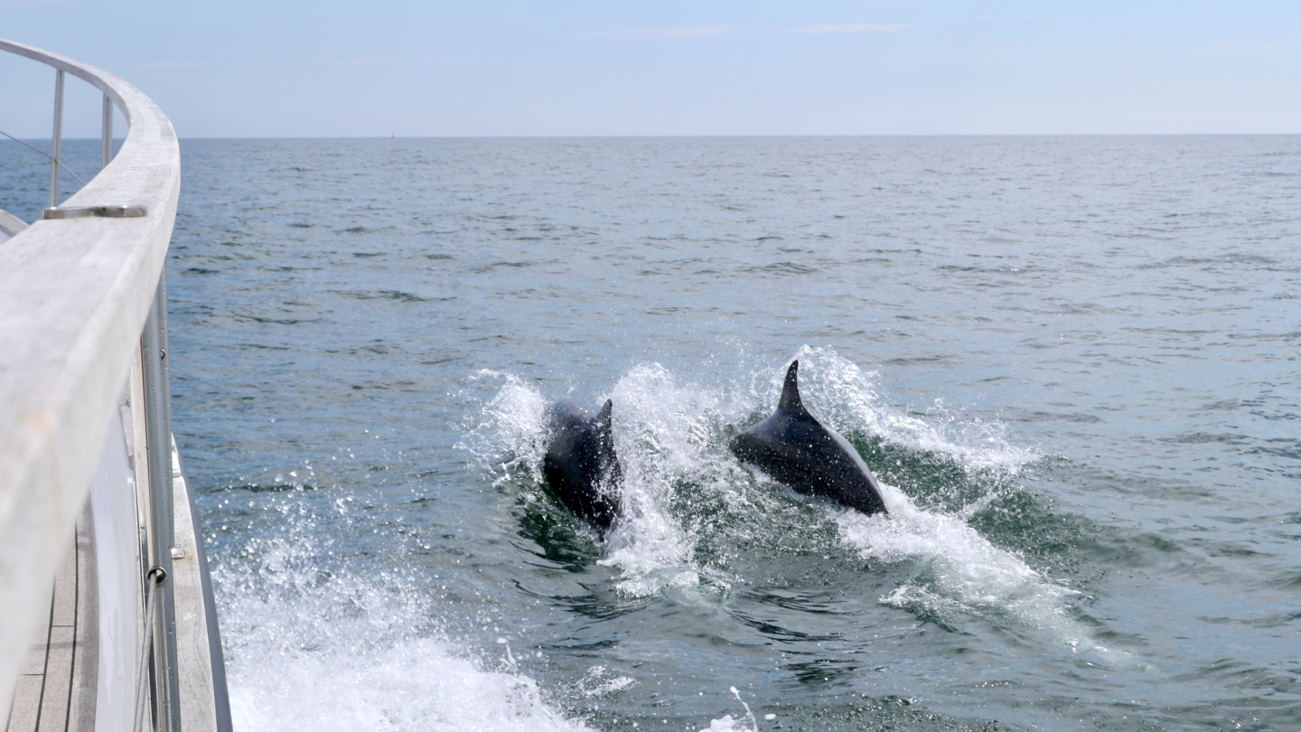 Dolphins next to Suwena on the North Sea