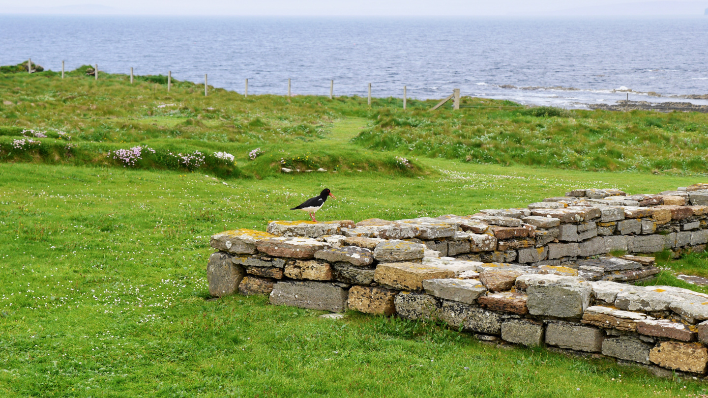 Oystercatcher in the island of Birsay at the ruins of viking settelement
