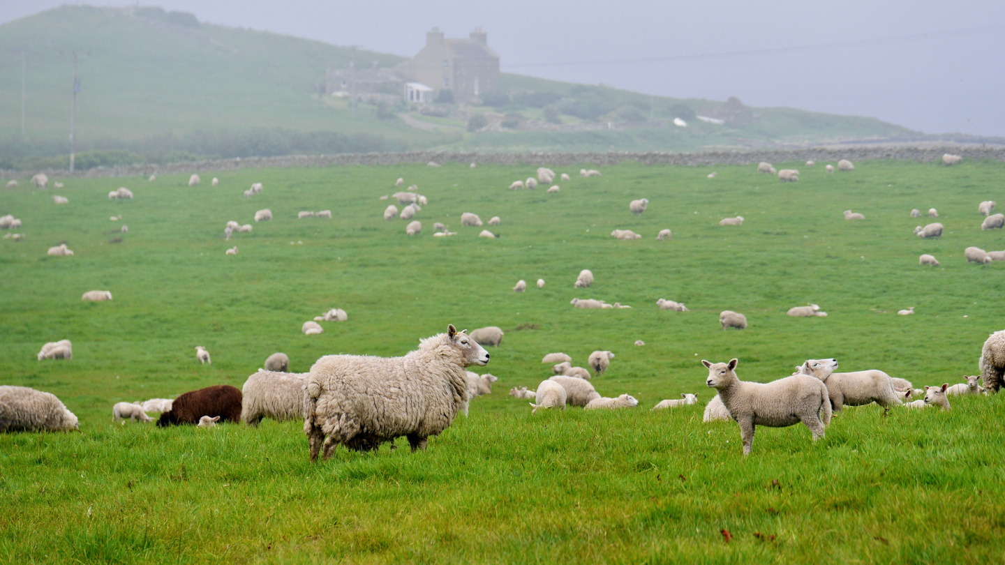 Sheep in Orkney