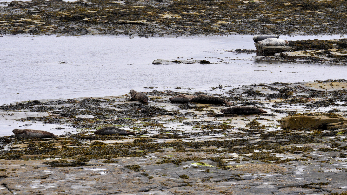 Seals laying on the island of Rousay