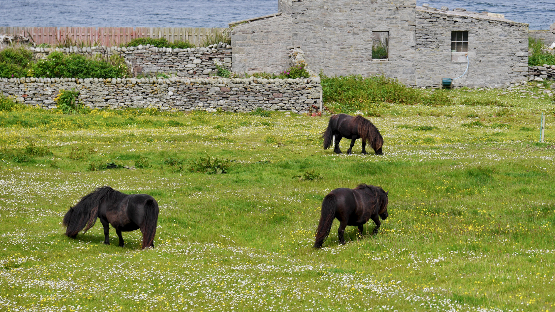 Shetlannin ponit Sumburgh Head niemellä