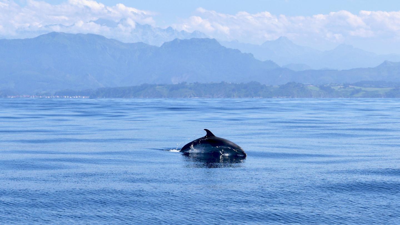 Delfiini leikkimässä Suwenan kanssa Pohjois-Espanjan rannikolla